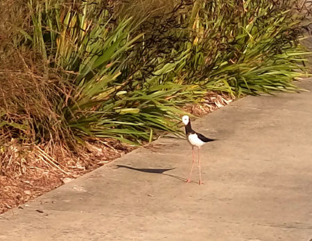 An adult pied stilt looks on as the chick is rescued.